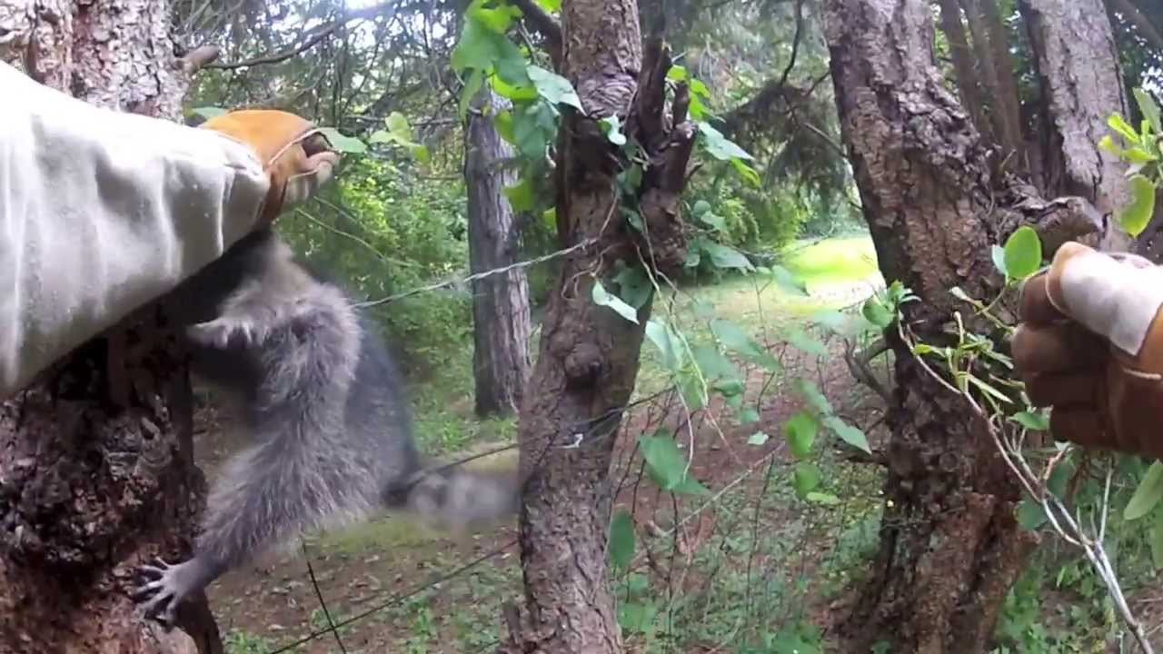 Wrapped Up Raccoon - YouTube
