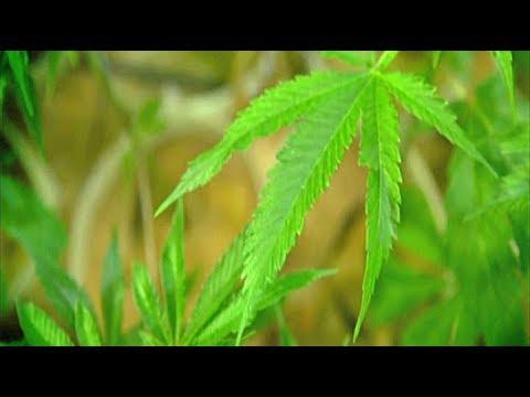 Hikurangi Cannabis CEO confident that high quality, low cost medicinal marijuana is months away