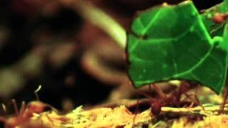 Fungus Farming Leaf Cutter Ants