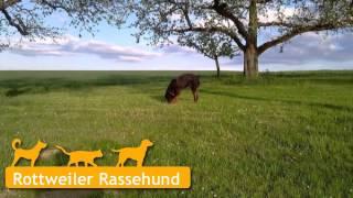 Rottweiler In Hardthausen