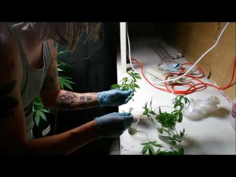 How to clone your cannabis plant for early sexing and a new generation