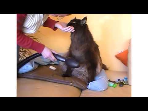 Cofix® - Macht Haaren Beinen - Episode 3 - Maine Coon Katze lernt Cofix schätzen!