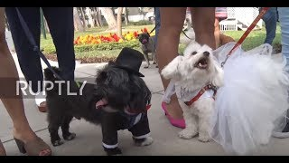 Love with a dose of CUTE in Lima's pet wedding ahead of Valentine's Day