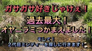 【アクアリウム】ガサガサ好きじゃけぇ!過去最大のオヤニラミをつかまえました!【ガサガサ】