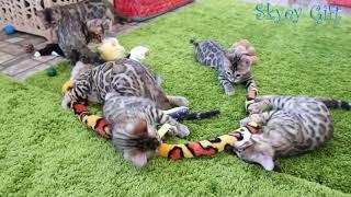 Bengal kitten for sale !  Розетка на золоте продажа бенгальские котята