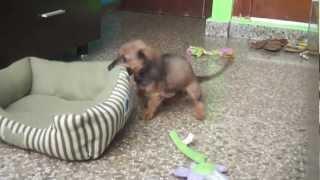 Shelsie, Dachshund Puppy
