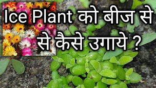 How to Grow Ice Plant From Seed || Ice plant को बीज से कैसे उगाये || Flora Nurture