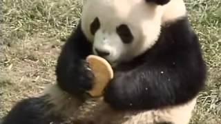 Pandas, Too, Love Mooncakes