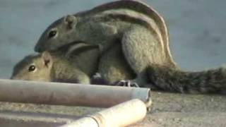 Mating Palm Squirrels