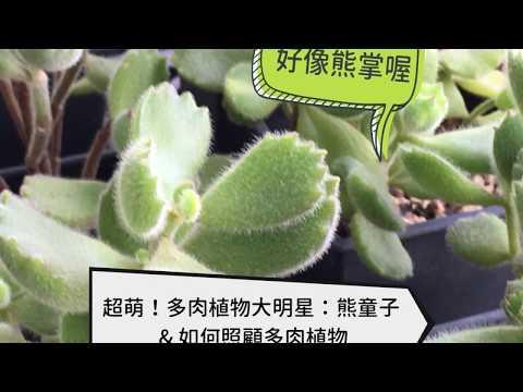 超萌!多肉植物大明星:熊童子& 多肉植物照顧6技巧