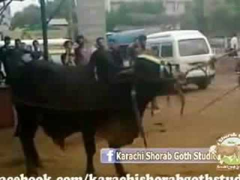 Qurbani Cow Attack Dangerous and Out of C...