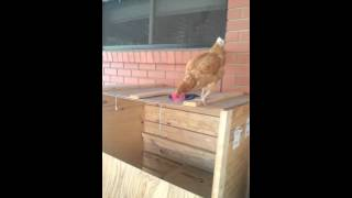 Stupid chicken doing stupid things.