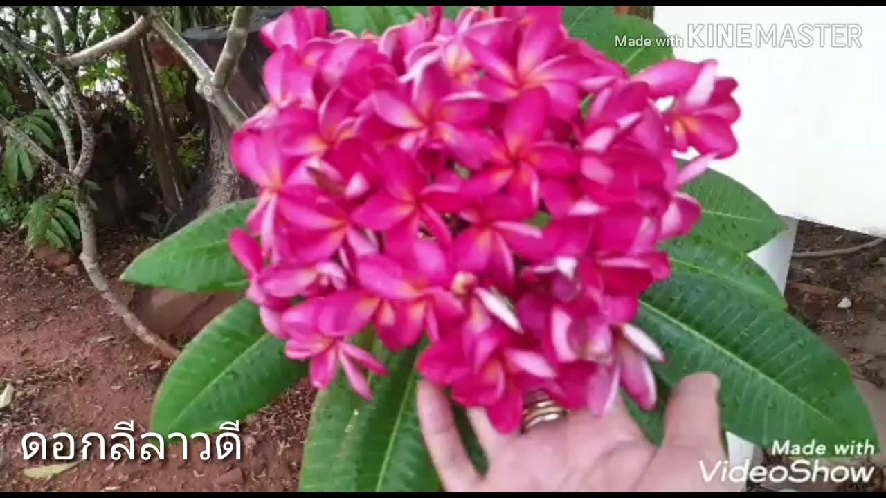 ต้นลีลาวดี   ดอกลีลาวดีสีสวยมาก