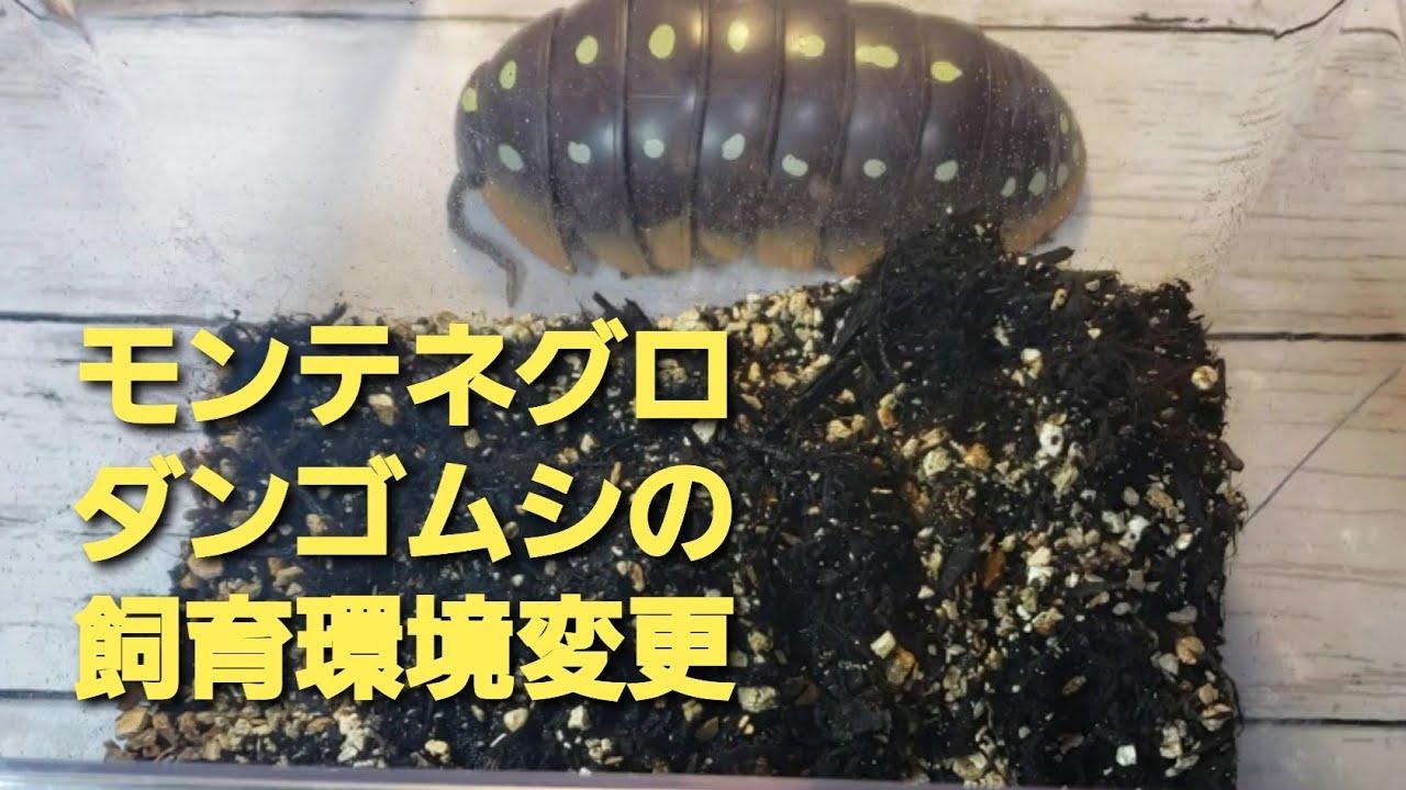 飼育 ダンゴムシ