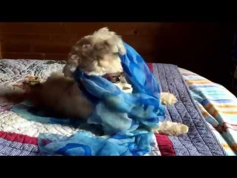 Beautiful Tibetan terrier dog playful fun