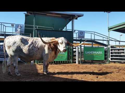 2017 Trails West Texas Longhorn Sale
