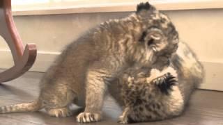 子猫、子犬?と間違えるこの動物は、百獣の王ライオンの赤ちゃんです。 ...
