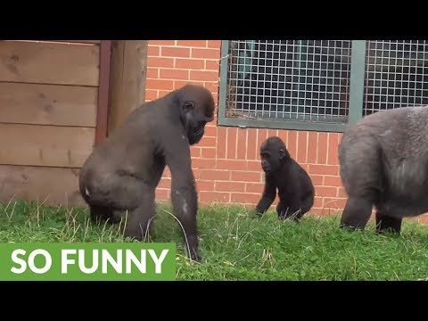 Priceless moment when gorilla youngster 'harasses' baby brother