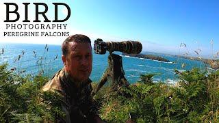 BIRD   WILDLIFE PHOTOGRAPHY UK   Photographing Peregrine Falcons