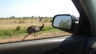 Страус бежит наперегонки с автомобилем