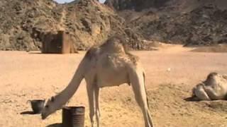 Beduini i wielbłąd