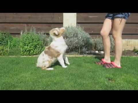 Australian Shepherd Puppy 4 Months Old Training