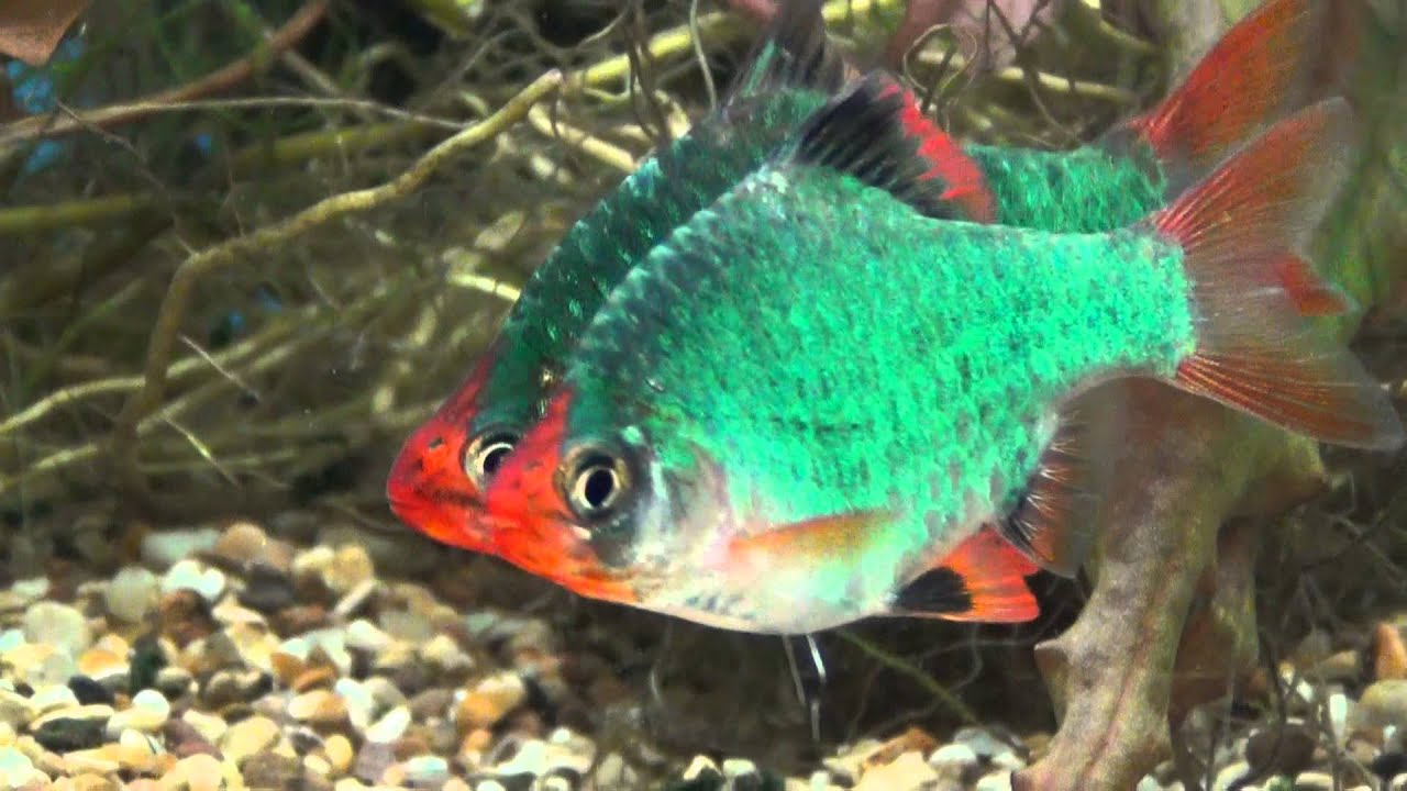 XXL GREEN TIGER BARBS AT TYNE VALLEY AQUATICS - YouTube