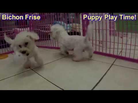 Bichon Frise, Puppies, For, Sale, in, Mobile, County, Alabama, AL, Huntsville, Morgan, Calhoun, Etow