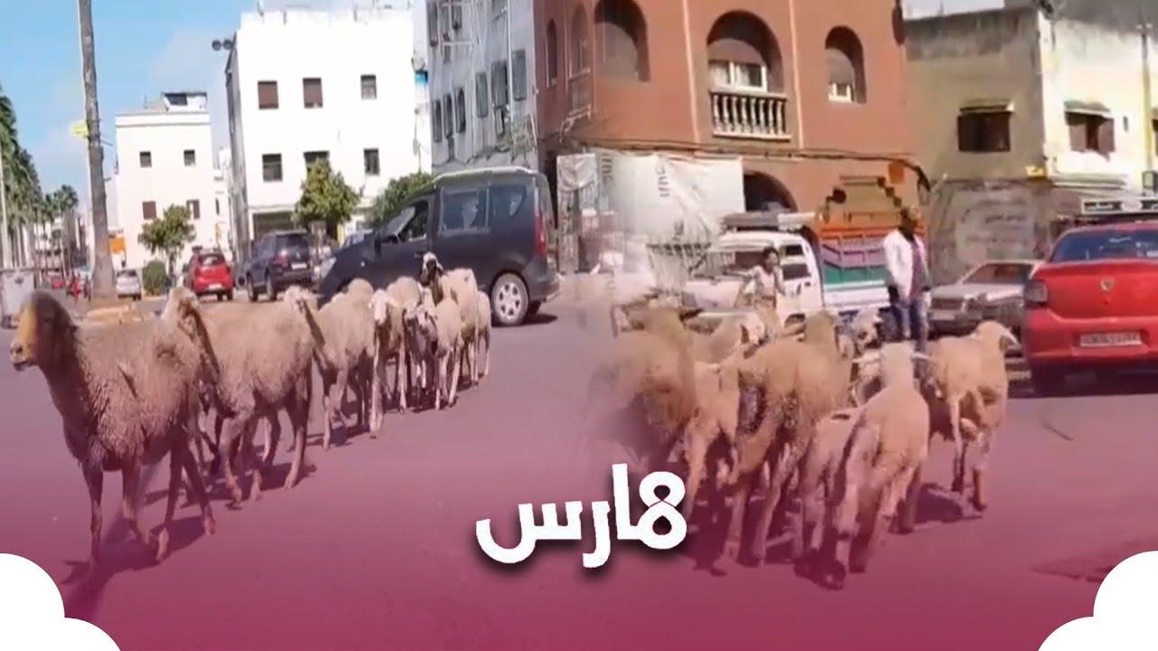 شاهد قطعان من الأغنام تتجول بشوارع الدار البيضاء  - نشر قبل 59 دقيقة