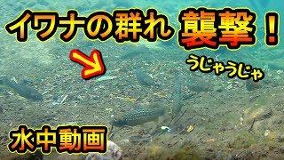 【衝撃】ルアーを襲うイワナの群れ!水中撮影に成功!『イワナの溜り場発見』