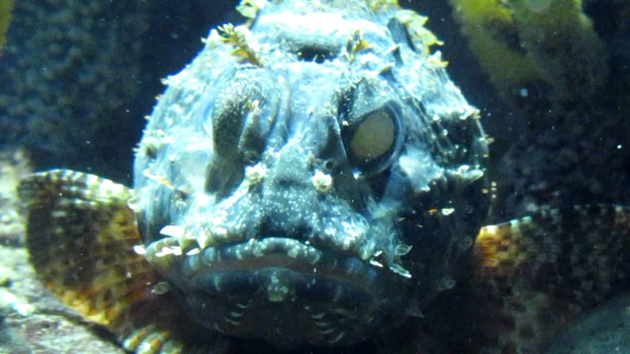 Scorpion Fish Aquarium
