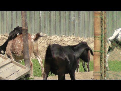 ছাগলের খামার করার জন্য এভাবেই এগিয়ে আসবে সবাই forward to do the goats farm|