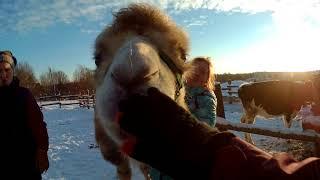 Верблюд на конюшне: видео про Сонечку
