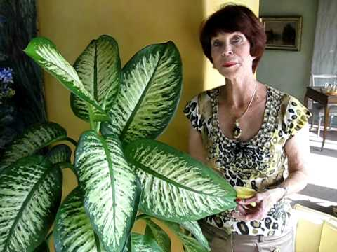 Dieffenbachia - Common but Toxic