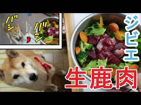 柴犬小春 【憧れの鹿】生鹿肉はここに置け!ジビエ料理に大興奮!Shiba Eats Deer MeatShiba Eats Deer MeatASMR、音フェチ
