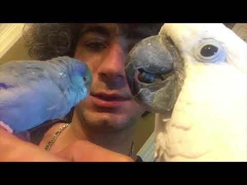 Bird preening-Joseph was preening Tiago 😍😍😍