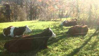 Happy cows sitting in dappled sun