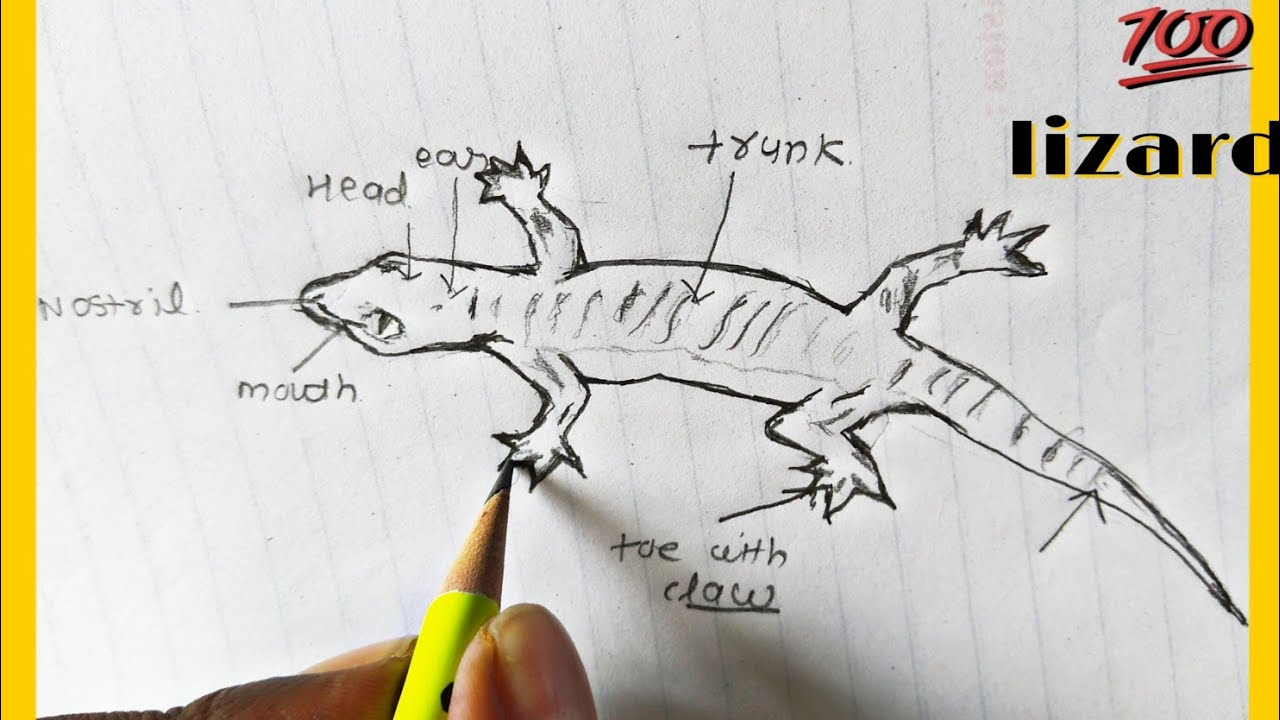 Classification Of Animals Phylum Chordata Class Reptilia How To Draw Lizard Youtube