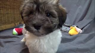 Havanese puppies born June 18 2021