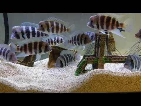 Frontosa Cichlids!  Getting Big!