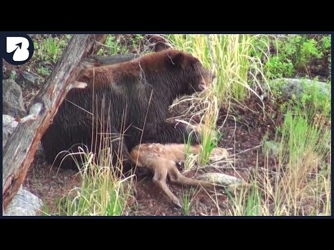15 Merciless Moments of Bears Hunting