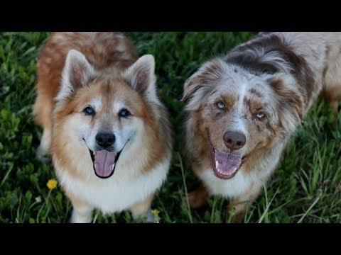 Dogs Enjoying the Summer | Australian Shepherd & Icelandic Sheepdog