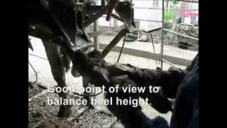 ANKA Crush Best Quality of Work. Cattle hoof trimming Chute