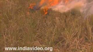 Burning paddy fields after harvest, agriculture, rice cultivation, Kuttanadu, Alappuzha