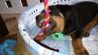 Dax Rottweiler Playing With My New Toys!!