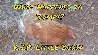 Around The Homestead: One Of Our Hens Died Mysteriously