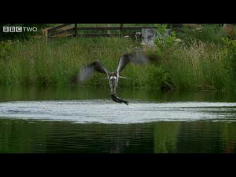 Ospreys Catching Fish - The Animal's Guide To Britain, Episode 1 Preview - BBC Two
