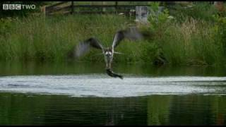 Ospreys Catching Fish - The Animal's Guide To Britain, Episode 1 Preview - BBC Two thumbnail