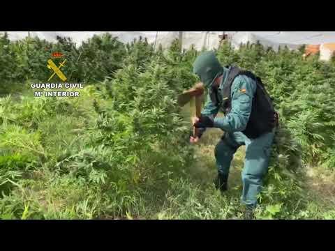 Operación Portiva de la Guardia Civil en la que se han intervenido 290 plantas de marihuana