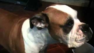 Boxer Dog Pouting and Begging for a Cookie
